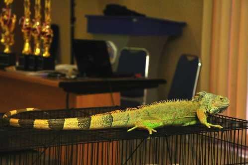 Penampakan iguana di salah satu stan peserta Marketing Fair hari ini (23/01)